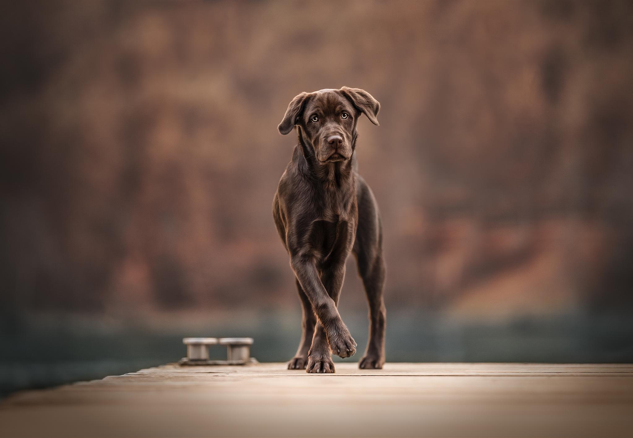 labrador, hundefoto, hundefotoshooting, hundefotografie,brauner labbi, schokoladen labrador, odenwald, hessen, lützelbach